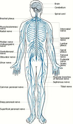 nervous system - Google Search