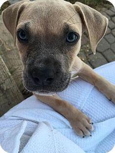 HAGGERSTOWN, MD - Pug/Beagle Mix. Meet MAX, a puppy for adoption. http://www.adoptapet.com/pet/16650273-haggerstown-maryland-pug-mix