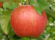 Malus 'Minnewashta' PP11,367 (Zestar!) - Zestar! Apple