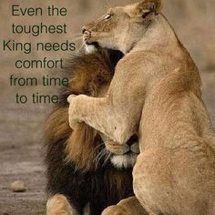 Everyone Needs Comfort - Everyone Needs Comfort life quotes quotes cute animals quote life quote love quote comfort - Lion And Lioness, Lion Of Judah, King Quotes, Queen Quotes, Lion Pictures, Cute Pictures, Lioness Quotes, Animals Beautiful, Cute Animals