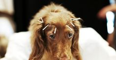 Does your dog need acupuncture? An alternative pet therapy that gets results