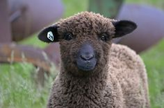 Beginner Felting, Needle Felting Tutorials, Needle Felted Animals, Felt Animals, Cute Animals, Country Critters, Sheep Breeds, Sheep And Lamb, Sheep Farm
