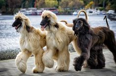 The regal Afghan Hound taking a walk around town.