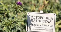 Silybum Marianum, comúnmente cardo mariano. Una de las plantas presentes en la #cosmeticanatural de #naturasiberica krous.es