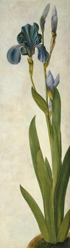 Albrecht Dürer - An Iris (w/c & gouache on paper)