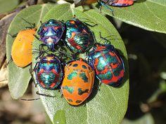57 Jewelled Beetles