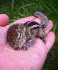 Sleepy Baby Chipmunk