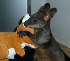 Kangourou et sa peluche