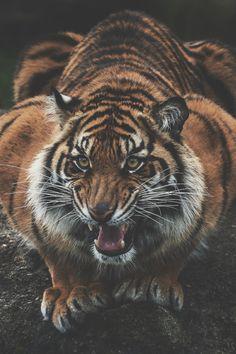 """Sumatran Tiger"" Photo by John Vargas Beautiful Cats, Animals Beautiful, Cute Animals, I Love Cats, Big Cats, Gato Grande, Pet Tiger, Angry Tiger, Mundo Animal"