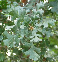 VALLEY OAK Quercus lobata  leaves