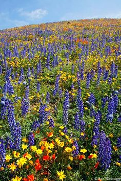 need LOTS of wildflowers... bluebonnet, indian paintbrushes, and other varieties...
