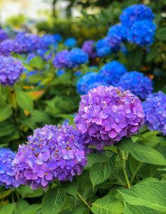 Hydrangeas on Nantucket | The Season's Best Blooms - Shorelines Illustrated Hydrangea Colors, Hydrangeas, New England Travel, Out To Sea, Nantucket, Landscaping, Bloom, Gardening, Seasons