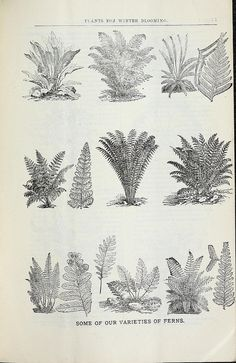 """D.M.Ferry 1881 nursery catalogue - """"Some of our varieties of Ferns"""""""