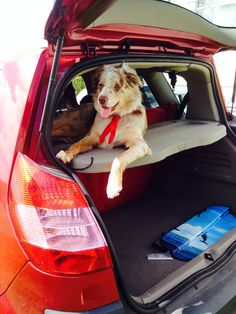 Sweet dog resting in the boot of a car