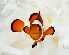 Amphiprion Ocellaris Pez Payaso El Amphiprion Ocellaris habita en los Arrecifes coralinos del Mar de Asia y Australia, en el Indo-Pacifico Occidental, al Este del Océano Indico como Islas de Andaman y Nicobar, Tailandia, Malasia. Es un pez de acuario muy popular, viviendo en asociación con la Anémona de mar donde encuentra alimento, refugio y protección.  Nombre común: Pez Payaso, Pez Pércula Falso, Pez Anémona.