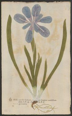""": """"Nature-printed iris, from Botanica in originali, eu Herbarium vivum, 1758. """""""