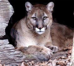 eastern cougar. now extinct.