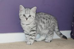 Stunning pedigree silver tabby and silver spotted British Shorthair kittens