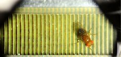 Fruit flies show mark of intelligence in thinking before they act, study suggests -- ScienceDaily