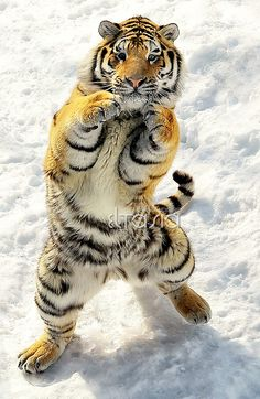 Tiger Boxer - Come on, try me !