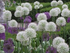 Awesome Alliums   Mark's Garden Ruminations