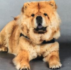 Today there was a pet photographer in the petshop who took this picture of Moos  #chowchow #chowlife #cuteanimals #cutepetclub #cutepuppyclub #dogs_of_world_ #dogsofinstagram #adorimals #mydogiscutest #lacyandpaws #fluffy #lion #petshop #photographer by chow_chow_moos