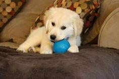 Gizmo as a puppy, english cream golden retriever