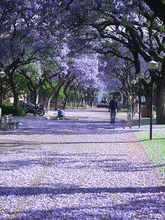 Jacaranda Tree, Arcadia, Pretoria - Google Search