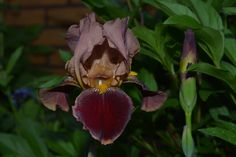 Suklainen kieli :) | Vesan viherpiperryskuvat – puutarha kukkii