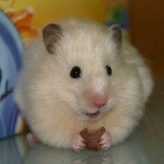 Chocolate - #hamsters #hamster