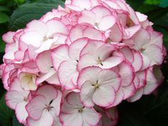 Hydrangea Sabrina - Mercervale Daffodils & Nursery