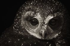 Black and white photography. Owl. http://xaxor.com/photography/26850-itou-kouichi-black-and-white-animal-photos.html