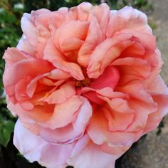 Lady Ashe - From our English friend, Peter Beales, we bring you 'Lady Ashe'. An ideal climbing pillar or shrub rose that has everything going for it. Outstanding fragrance, beauty of bloom and a wonderful disease-resistant plant. The fully double blooms are a subtle shade of peachy pink. Shiny, leathery, rich, deep green foliage provides the perfect background for the lovely blooms. Continual blooming, very disease resistant and hardy climber zones 5-10.