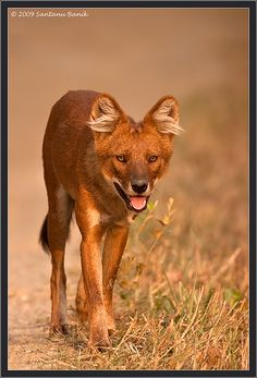 #Indian Wild Dog ~ known as Dhole...  Like,Repin,Share, Thanks!