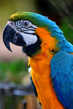 Photo Blue by Rikus Matthyser on Tropical Birds, Exotic Birds, Exotic Pets, Parrot Flying, Parrot Bird, Caique Parrot, Parrot Craft, Parrot Pet, Parrot Tulips