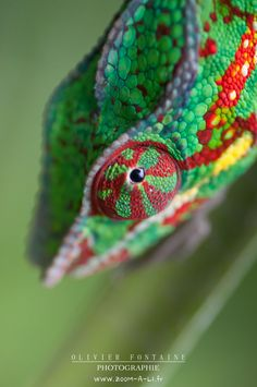 Chameleon by Olivier Fontaine on 500px