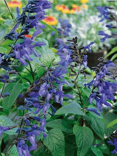 Salvia guarantica Black and Blue; Tall 3-5' (Plant 2-3' apart). Shear after blooming to prompt fresh foliage and blooms. Likes a humus rich, well-drained soil.