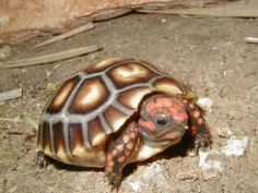 Tortoise red foot cherry head turtle