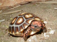 Tortoise red foot cherry head turtle