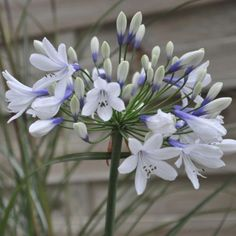Vivace aux fleurs joliment bicolores, bleues et blanches, en été.