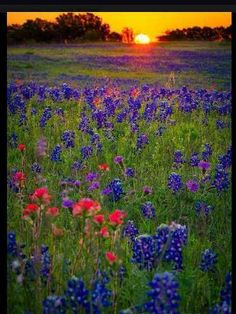 Field of blue bonnets dotted with Indian paintbrush