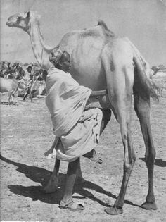Discover Somalia - Camels are a huge part of Somali culture and history.