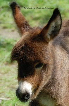 Pet Photography Card Fine Art Miniature Donkey  by overthefenceart, $4.00
