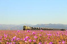 Desierto Florido, Atacama Chile.