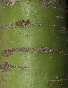 Paloverde tree bark