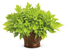 'Sweet+Caroline+Light+Green'+-+Sweet+Potato+Vine+-+Ipomoea+batatas