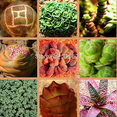 Crassulaceae*ECHEVERIA combinations Seeds 20pcs promotion Bonsai Table Succulent Plants garden ornaments Free Shipping-in Bonsai from Home & Garden on Aliexpress.com | Alibaba Group
