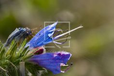 Die blauen Blüten des Natternkopf - Natternkopf, Blüte, Blume, Naturfotografie, Bienenweide - http://ronni-shop.fineartprint.de
