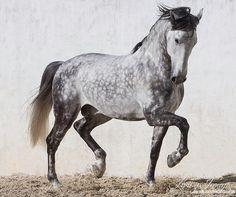 Schecken grau Hengst Tanz Kunst Pferd Foto von WildHoofbeats
