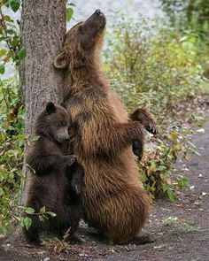 Mum tells her cub that using a tree to reach the parts that nothing else can reach is essential bear activity !! ( you scratch my back and I won't scratch your bark too badly !! ) = Thanks, that would / WOOD be TREEmendous ‼